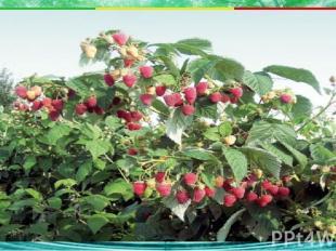 Какое из растений не является травянистым? 2. клубника 3. земляника 4. клюква А2