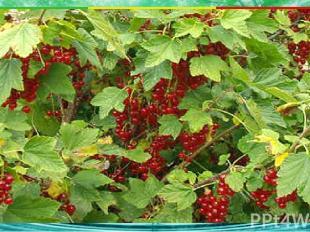 Какое растение является кустарником? 2. кедр 3. репейник 1. клён А3 4. смородина