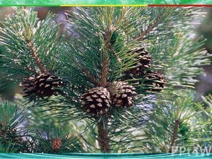 Какое растение является хвойным? 1. папоротник 3. шиповник 4. одуванчик А4 2. со