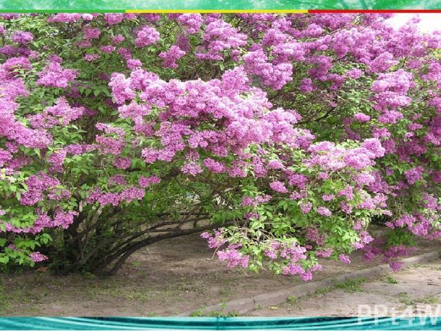 Какие растения имеют несколько довольно тонких одревесневших стволиков? 2. травянистые 3. хвойные деревья 4. лиственные деревья А1 1. кустарники