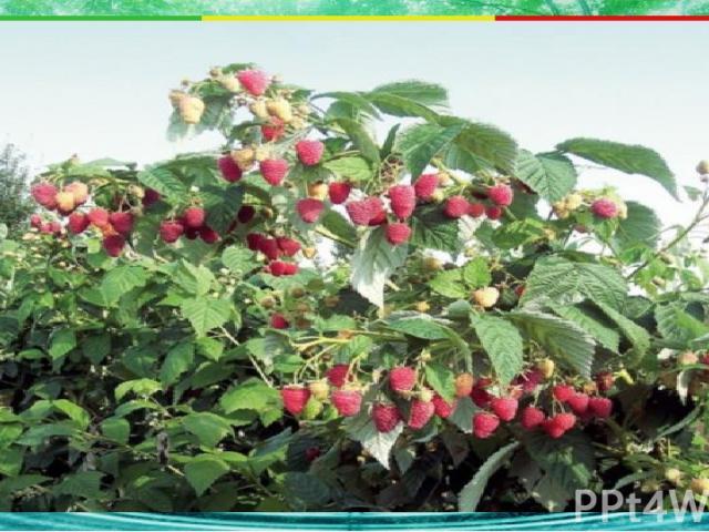 Какое из растений не является травянистым? 2. клубника 3. земляника 4. клюква А2 1. малина