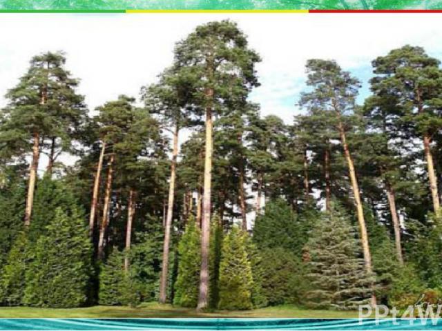 Какое дерево вырастает в тайге выше других? 2. клён 3. липа 4. рябина Б1 1. сосна