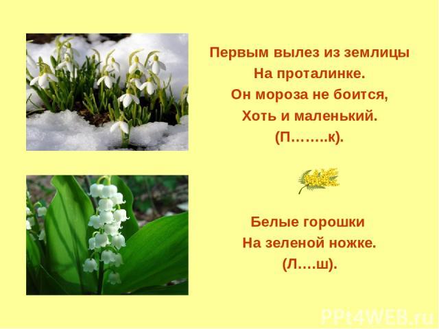 Первым вылез из землицы На проталинке. Он мороза не боится, Хоть и маленький. (П……..к). Белые горошки На зеленой ножке. (Л….ш).
