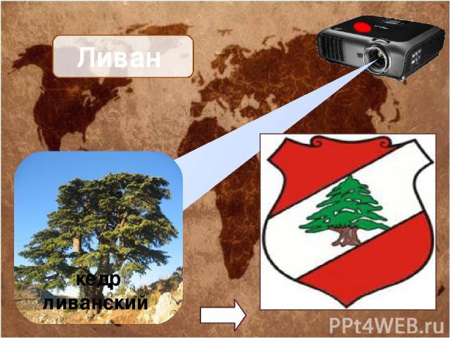 Ливан кедр ливанский