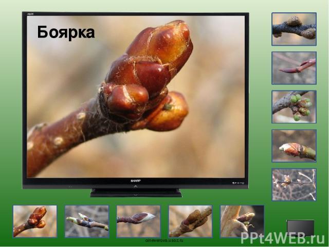 Рассмотрите внимательно фотографии и определите, какие растения на них изображены. Для проверки ответа кликните по экрану. oineverova.usoz.ru