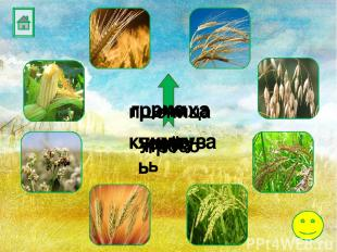 ячмень овёс просо рис пшеница гречиха кукуруза рожь
