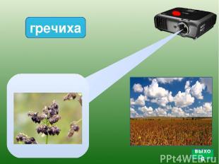 Кукуруза поле подсолнуха Подсолнух Проектор Пшеница фон подсолнух фон для рамки