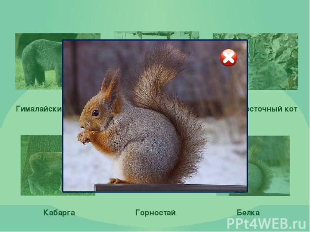 Использованные ресурсы: Медведь: http://vladivostok.bezformata.ru/content/image73553471.jpg http://bib.ge/img_animal/63146967dsoduydbb.gif Амурский тигр: http://dp.media.opt-images.1c-bitrix-cdn.ru/upload/iblock/897/tigr.jpg?1449453826340772 http://…
