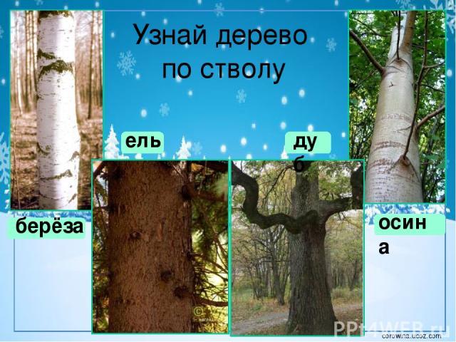 Сосна обыкновенная летом зимой corowina.ucoz.com