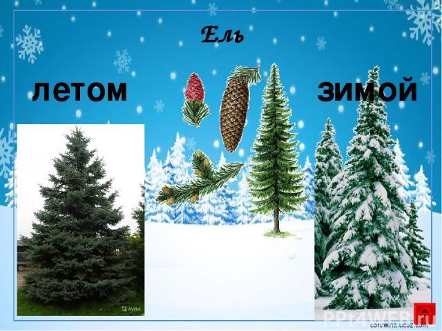 Берёза летом зимой corowina.ucoz.com