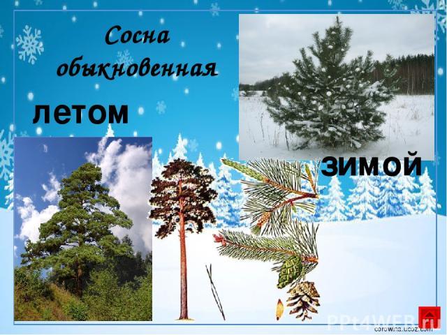 Дуб летом зимой corowina.ucoz.com