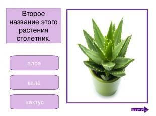 фиалка кала бальзамин Это растение называют «огонёк» «вечноцвет». Никифорова Н.В