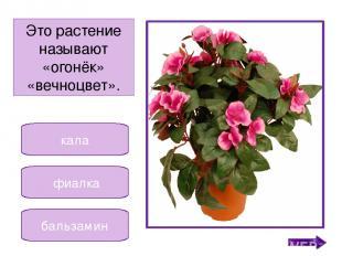традесканция кактус декабрист Это растение получило название от месяца. Никифоро