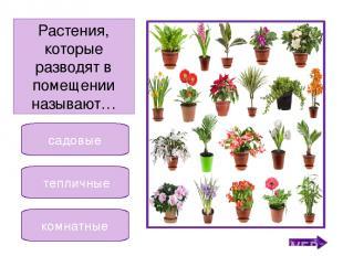 василёк астра бегония Растение, которое относится к комнатным. Никифорова Н.В.