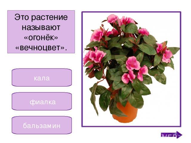 традесканция кактус декабрист Это растение получило название от месяца. Никифорова Н.В.