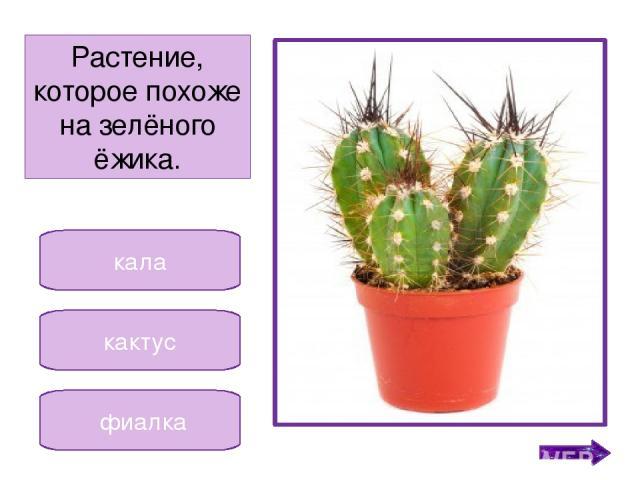 гиппеаструм кала сансевьера Растение, которое в народе называют «щучий хвост». Никифорова Н.В.