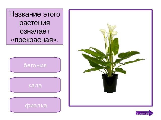 гиппеаструм кала фиалка Невысокое растение, у которого цветочки разных цветов. Никифорова Н.В.
