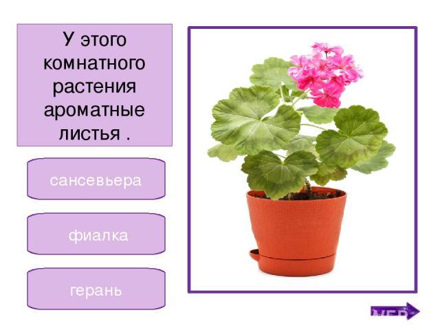 фиалка кактус традесканция Это комнатное растение любит обильный полив. Никифорова Н.В.