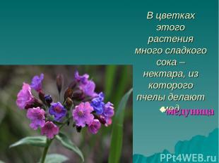 В цветках этого растения много сладкого сока – нектара, из которого пчелы делают