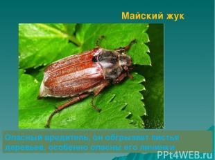 Майский жук Опасный вредитель, он обгрызает листья деревьев, особенно опасны его