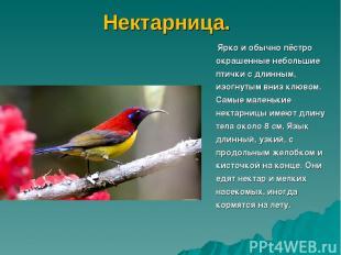 Нектарница. Ярко и обычно пёстро окрашенные небольшие птички с длинным, изогнуты
