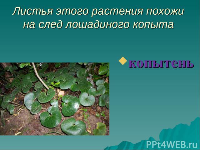 Листья этого растения похожи на след лошадиного копыта копытень