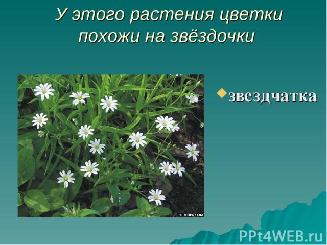 У этого растения цветки похожи на звёздочки звездчатка