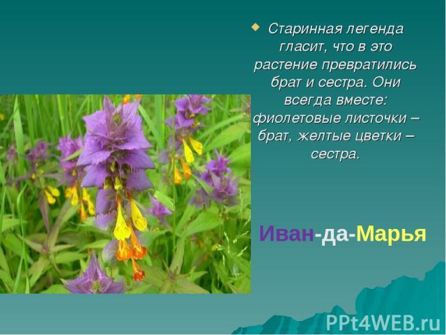 Старинная легенда гласит, что в это растение превратились брат и сестра. Они всегда вместе: фиолетовые листочки – брат, желтые цветки – сестра. Иван-да-Марья
