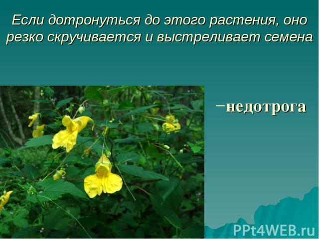 Если дотронуться до этого растения, оно резко скручивается и выстреливает семена недотрога