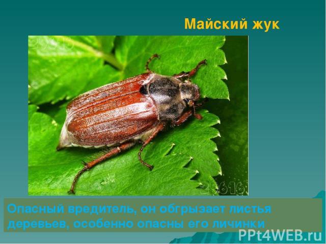 Майский жук Опасный вредитель, он обгрызает листья деревьев, особенно опасны его личинки