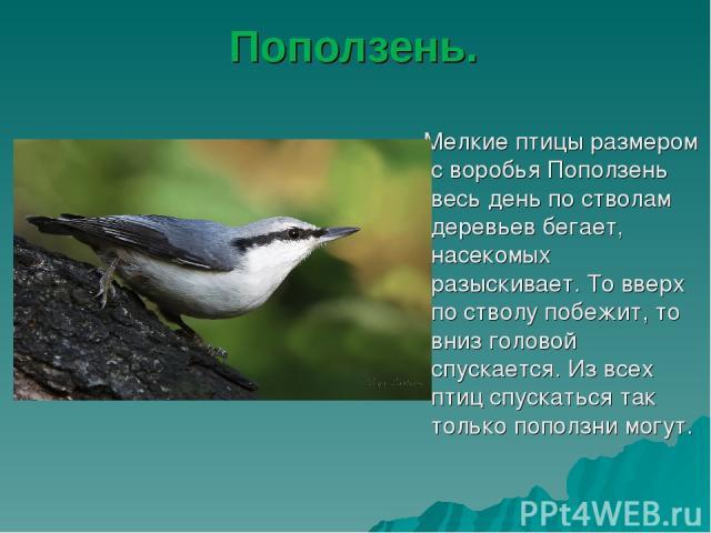 Поползень. Мелкие птицы размером с воробья Поползень весь день по стволам деревьев бегает, насекомых разыскивает. То вверх по стволу побежит, то вниз головой спускается. Из всех птиц спускаться так только поползни могут.