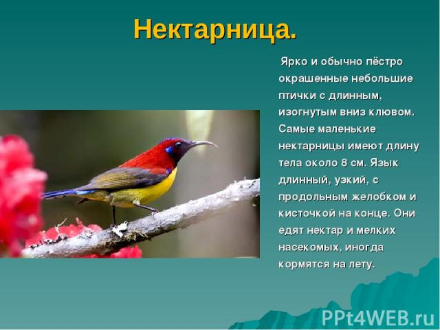 Нектарница. Ярко и обычно пёстро окрашенные небольшие птички с длинным, изогнутым вниз клювом. Самые маленькие нектарницы имеют длину тела около 8 см. Язык длинный, узкий, с продольным желобком и кисточкой на конце. Они едят нектар и мелких насекомы…