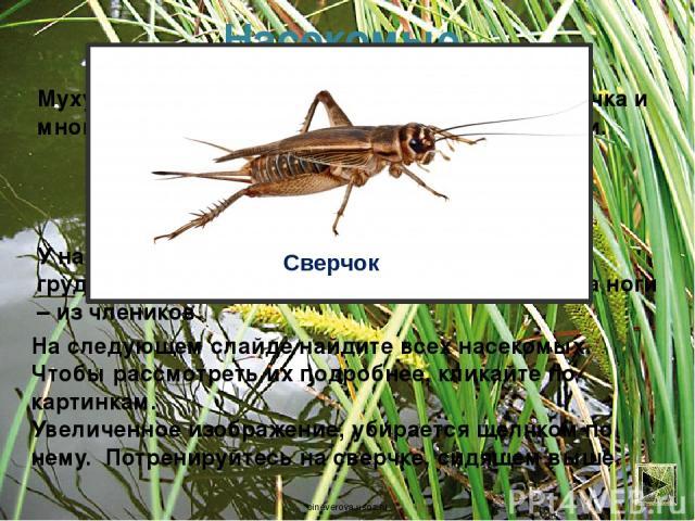 Насекомые Муху, комара, бабочку, кузнечика, саранчу, сверчка и многих других животных называют насекомыми. У насекомых три пары (шесть) ног; есть голова, грудь, брюшко; тело состоит из колец-насечек, а ноги – из члеников. На следующем слайде найдите…