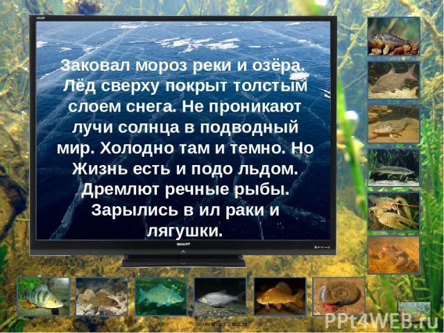 Заковал мороз реки и озёра. Лёд сверху покрыт толстым слоем снега. Не проникают лучи солнца в подводный мир. Холодно там и темно. Но Жизнь есть и подо льдом. Дремлют речные рыбы. Зарылись в ил раки и лягушки. oineverova.usoz.ru