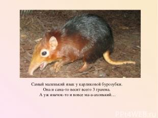 Самый маленький язык у карликовой бурозубки. Она и сама-то весит всего 3 грамма.
