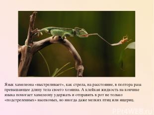 Язык хамелеона «выстреливает», как стрела, на расстояние, в полтора раза превыша