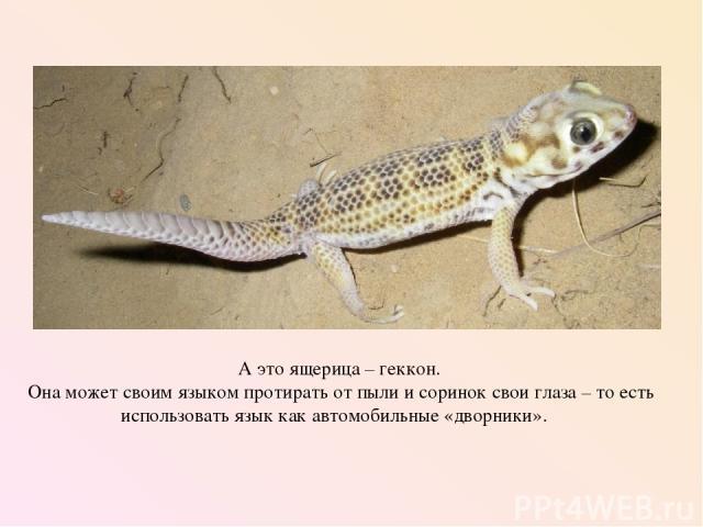 А это ящерица – геккон. Она может своим языком протирать от пыли и соринок свои глаза – то есть использовать язык как автомобильные «дворники».