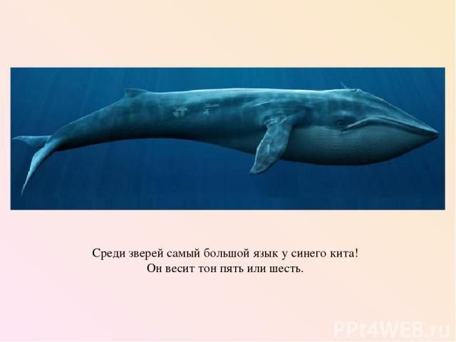 Среди зверей самый большой язык у синего кита! Он весит тон пять или шесть.