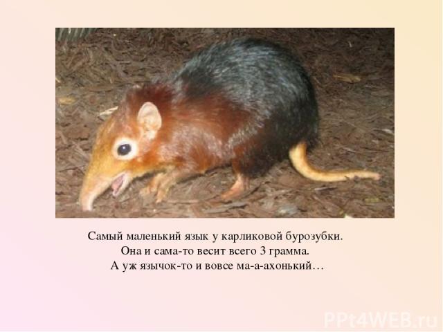 Самый маленький язык у карликовой бурозубки. Она и сама-то весит всего 3 грамма. А уж язычок-то и вовсе ма-а-ахонький…