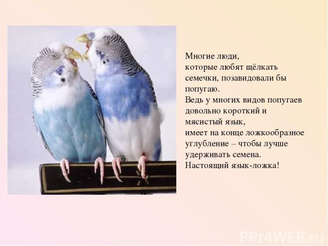 Многие люди, которые любят щёлкать семечки, позавидовали бы попугаю. Ведь у многих видов попугаев довольно короткий и мясистый язык, имеет на конце ложкообразное углубление – чтобы лучше удерживать семена. Настоящий язык-ложка!