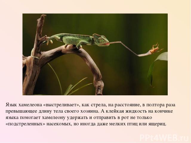 Язык хамелеона «выстреливает», как стрела, на расстояние, в полтора раза превышающее длину тела своего хозяина. А клейкая жидкость на кончике языка помогает хамелеону удержать и отправить в рот не только «подстреленных» насекомых, но иногда даже мел…