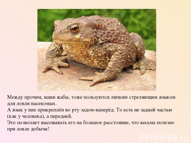 Между прочим, наши жабы, тоже пользуются липким стреляющим языком для ловли насекомых. А язык у них прикреплён во рту задом-наперёд. То есть не задней частью (как у человека), а передней. Это позволяет высовывать его на большое расстояние, что весьм…