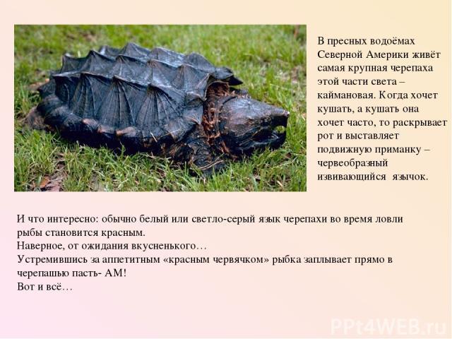 И что интересно: обычно белый или светло-серый язык черепахи во время ловли рыбы становится красным. Наверное, от ожидания вкусненького… Устремившись за аппетитным «красным червячком» рыбка заплывает прямо в черепашью пасть- АМ! Вот и всё… В пресных…