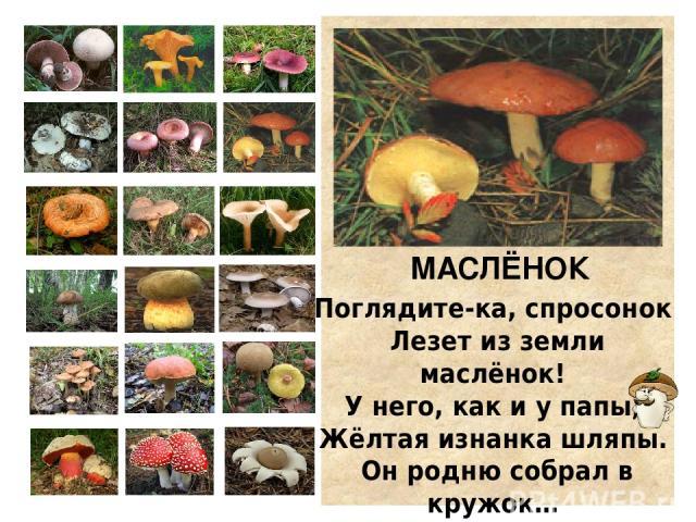 РЫЖИК К ёлке подойдём поближе. Видим гриб… Да это рыжик! Рыжий-рыжий, как морковка! Рыжий, как лиса-плутовка! С млечным соком непременно, Вкусный необыкновенно!