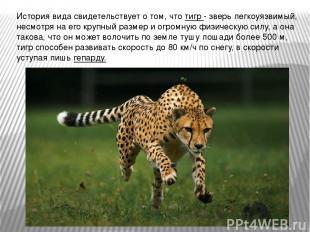 История вида свидетельствует о том, что тигр - зверь легкоуязвимый, несмотря на