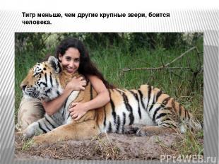 Тигр меньше, чем другие крупные звери, боится человека.