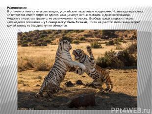 Размножение В отличие от многих млекопитающих, уссурийские тигры живут поодиночк