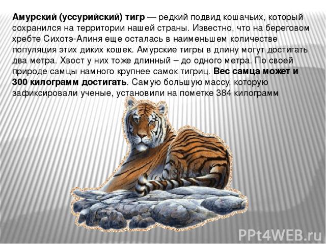 Амурский (уссурийский) тигр — редкий подвид кошачьих, который сохранился на территории нашей страны. Известно, что на береговом хребте Сихотэ-Алиня еще осталась в наименьшем количестве популяция этих диких кошек. Амурские тигры в длину могут достига…