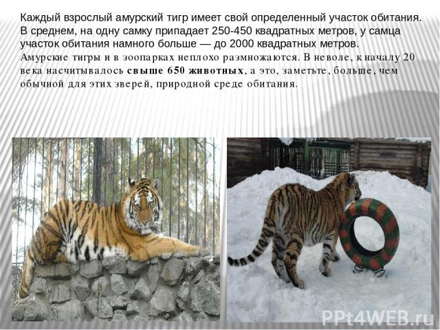 Каждый взрослый амурский тигр имеет свой определенный участок обитания. В среднем, на одну самку припадает 250-450 квадратных метров, у самца участок обитания намного больше — до 2000 квадратных метров. Амурские тигры и в зоопарках неплохо размножаю…