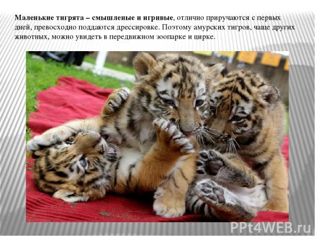 Маленькие тигрята – смышленые и игривые, отлично приручаются с первых дней, превосходно поддаются дрессировке. Поэтому амурских тигров, чаще других животных, можно увидеть в передвижном зоопарке и цирке.